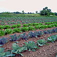 22. Kohlrabi and cabbage field
