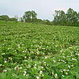 13. Field of flowering strawberries (May 6, 2005)