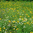 35. Black-eyed Susans