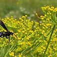 27. Wasp on flowering dill