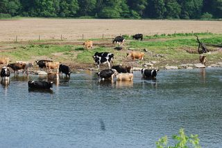 Cows in creek 012