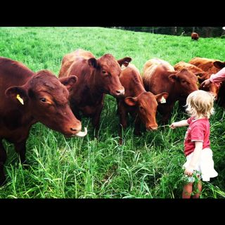 Amelia with cows