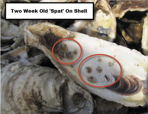 Two Week Old Spat On Shell