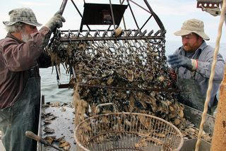 Oyster harvesting Chesapeake Bay Program