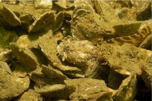 Toadfish With Mature Oysters