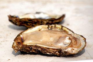 OysterChesapeakeBayProgram