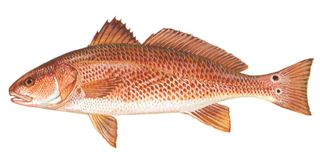 Red drum from the North Carolina DMF