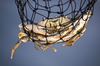Blue crab in net