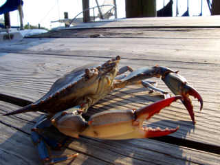 Blue crab blog