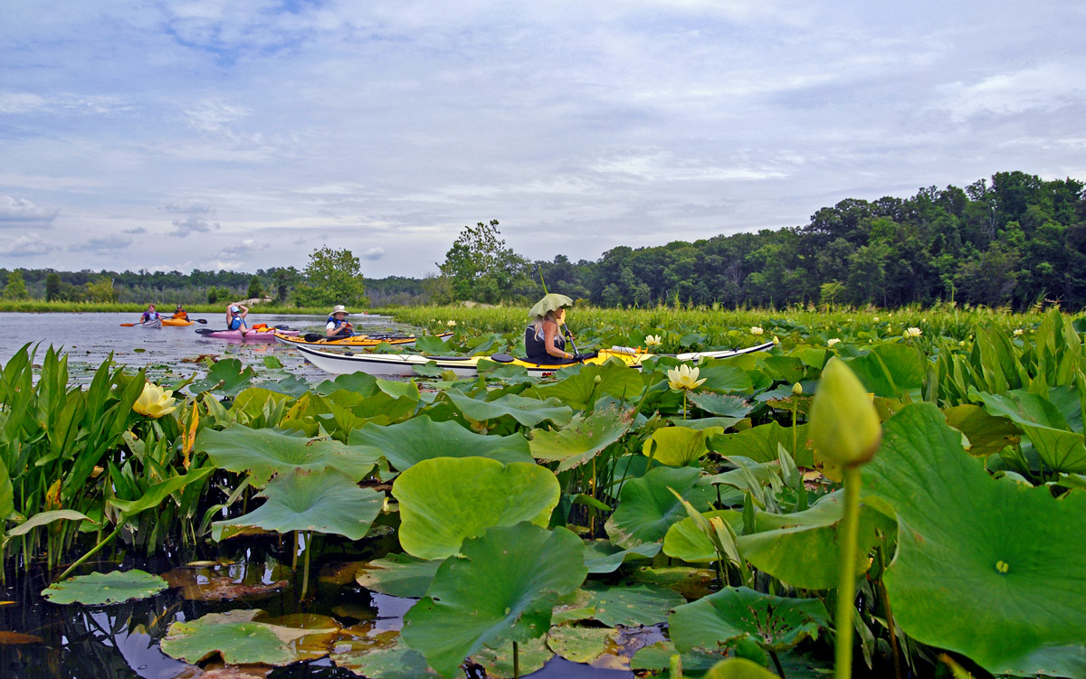 Chesapeake bay foundation blog photo of the week the american the month of july features a special blooming of the yellow lotuses at mattawoman creek which boasts one of the largest fields of american lotuses along izmirmasajfo
