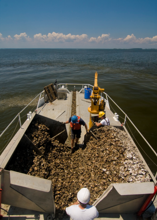 Oyster-planting-1200