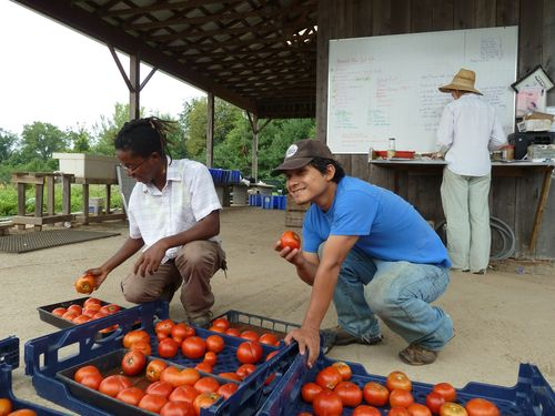 Zachari Curtis (left) and Xavier Bure (right) sorting tomatoes